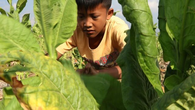 Indonesia child labour tobacco field
