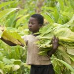 Malawi, child labour, tobacco, tobacco-free world