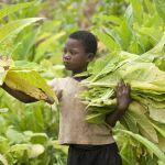 Malawi Kinderarbeit Tabak, tabakfreie Welt